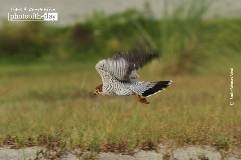 Red-necked Falcon, by Saniar Rahman Rahul