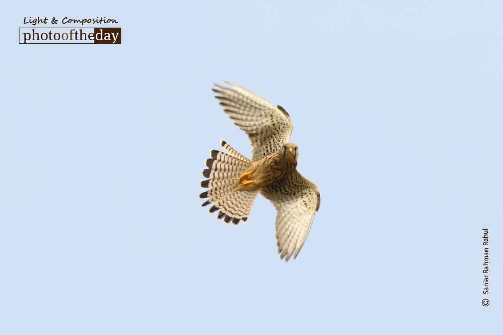 A Common Kestrel Hovering, by Saniar Rahman Rahul