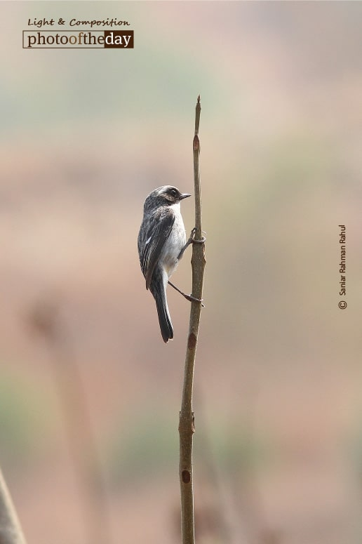 Grey Bushchat, by Saniar Rahman Rahul