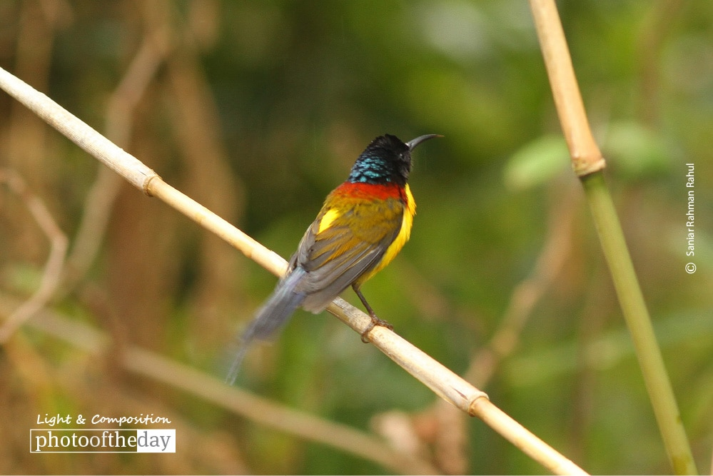 Mrs. Gould's Sunbird, by Saniar Rahman Rahul