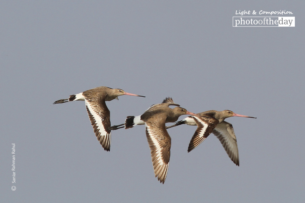 Black-tailed Godwit in Flight, by Saniar Rahman Rahul