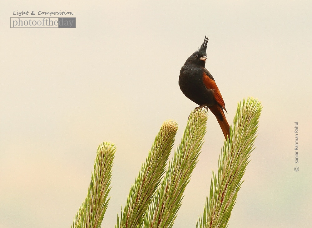 Crested Bunting, by Saniar Rahman Rahul