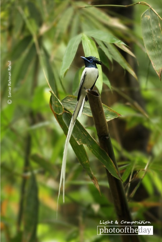 Asian Paradise-Flycatcher, by Saniar Rahman Rahul