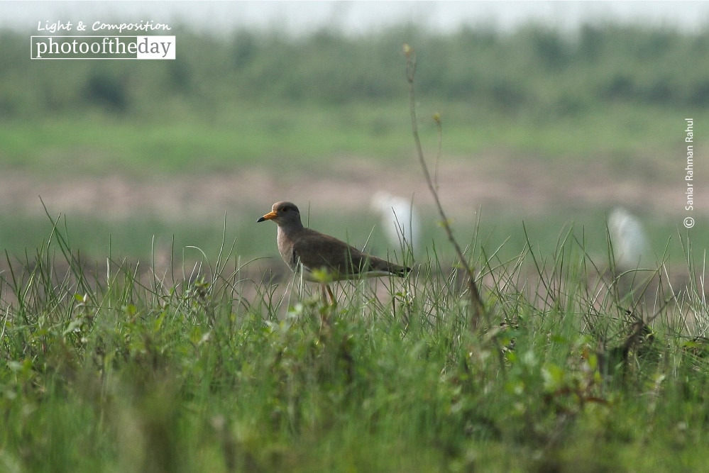 Grey-headed Lapwing, by Saniar Rahman Rahul