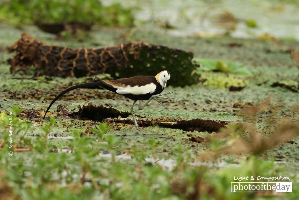 Pheasant-tailed Jacana, by Saniar Rahman Rahul