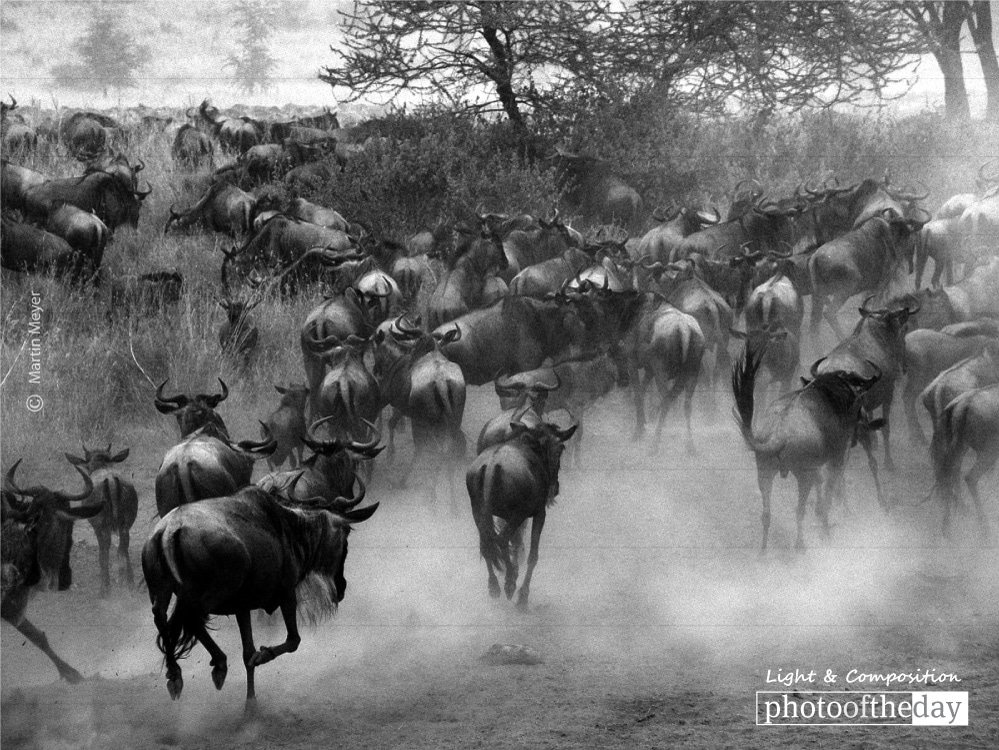 Serengeti Wildebeest Migration, by Martin Meyer