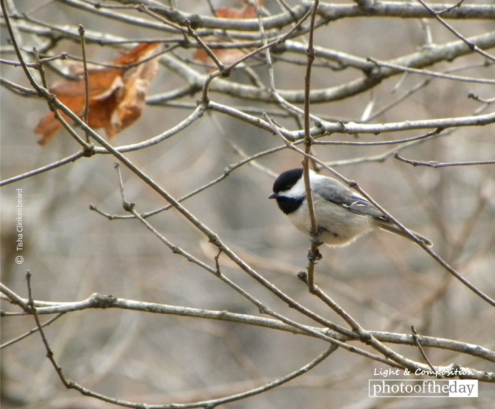 Chickadee in the Fall, by Tisha Clinkenbeard