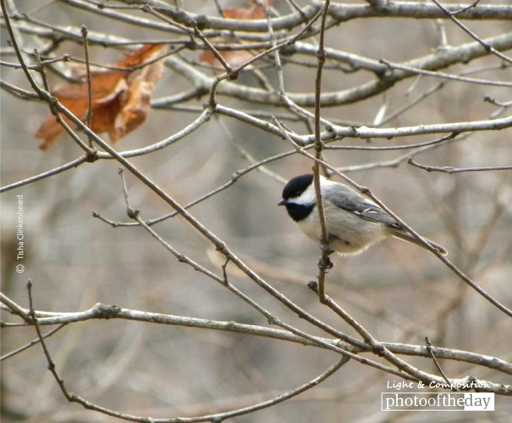 Chickadee in the Fall, by Tisha Clinkenbeard
