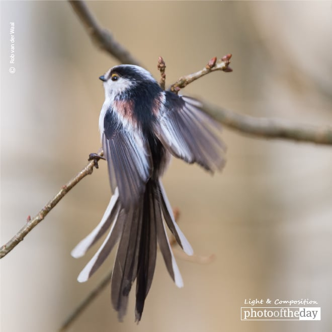 Long Tail Tit Showing Its Colors and Feathers, by Rob van der Waal