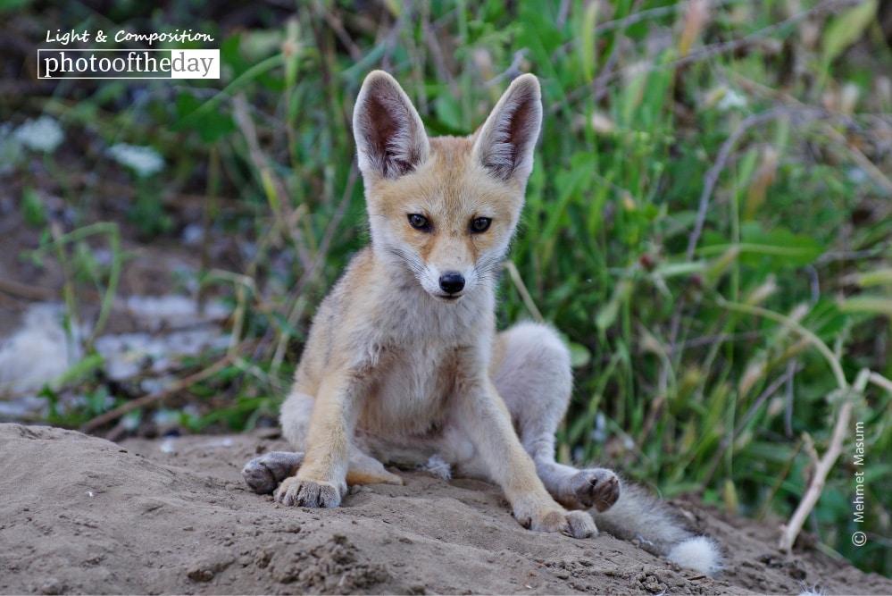 Red Fox in Diyarbakir, by Mehmet Masum