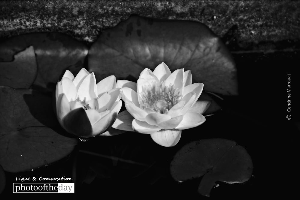 The Water Lily, by Cendrine Marrouat