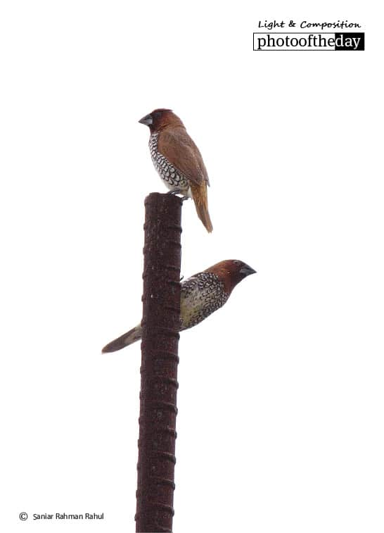 Scaly-breasted Munia, by Saniar Rahman Rahul