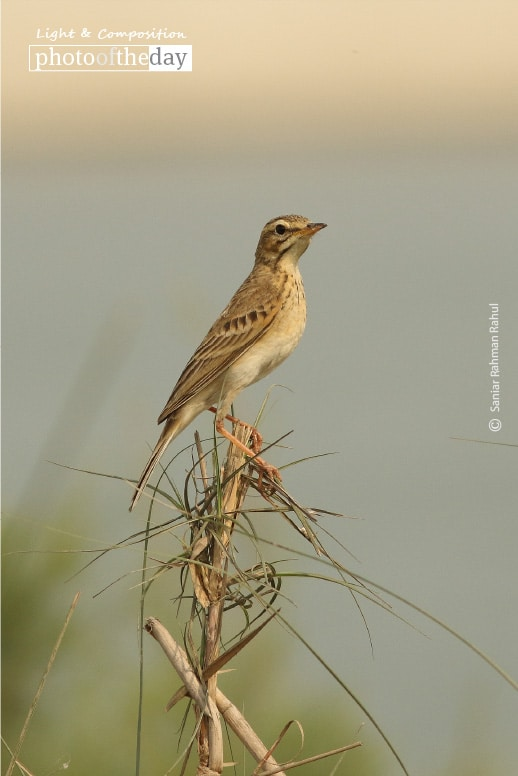 An Undistinguished Bird, by Saniar Rahman Rahul