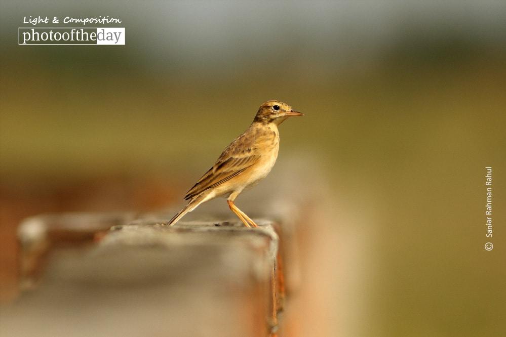 The Paddyfield Pipit, by Saniar Rahman Rahul