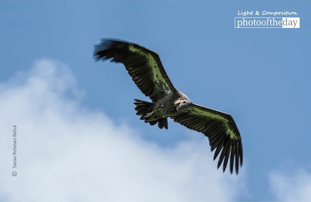 The White-rumped Vulture, by Saniar Rahman Rahul
