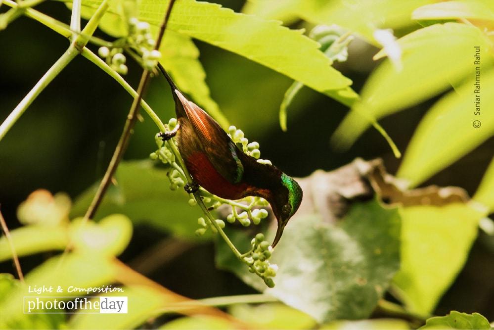 The Purple-throated Sunbird, by Saniar Rahman Rahul