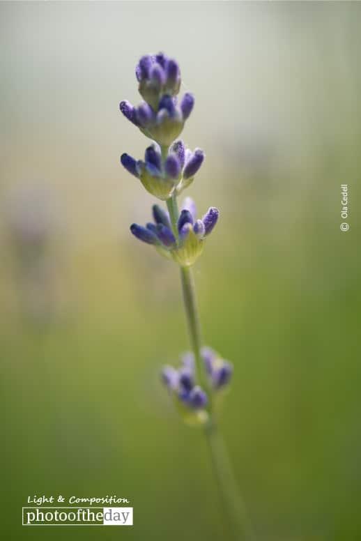 Lavender, by Ola Cedell