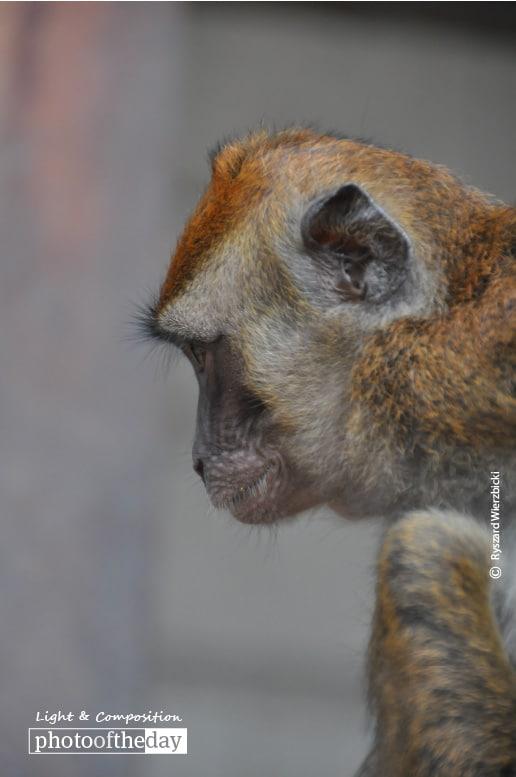 Shopkeeper's Monkey, by Ryszard Wierzbicki