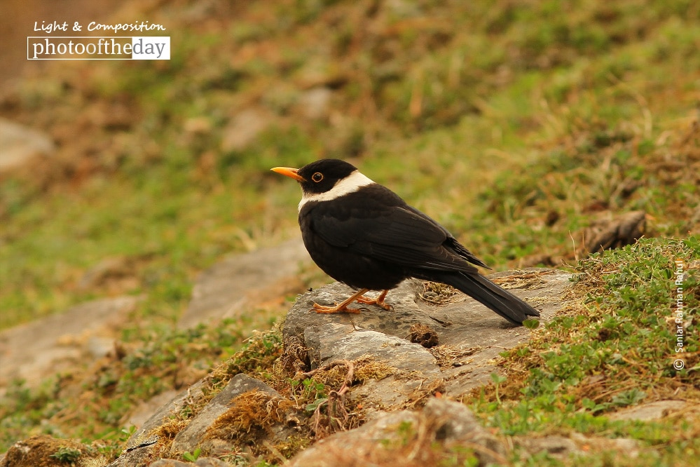 The White-collared Blackbird, by Saniar Rahman Rahul