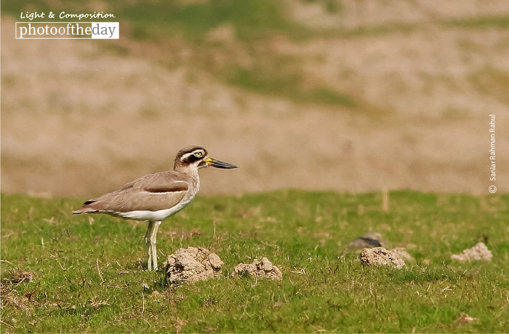 The Great Thick Knee, by Saniar Rahman Rahul