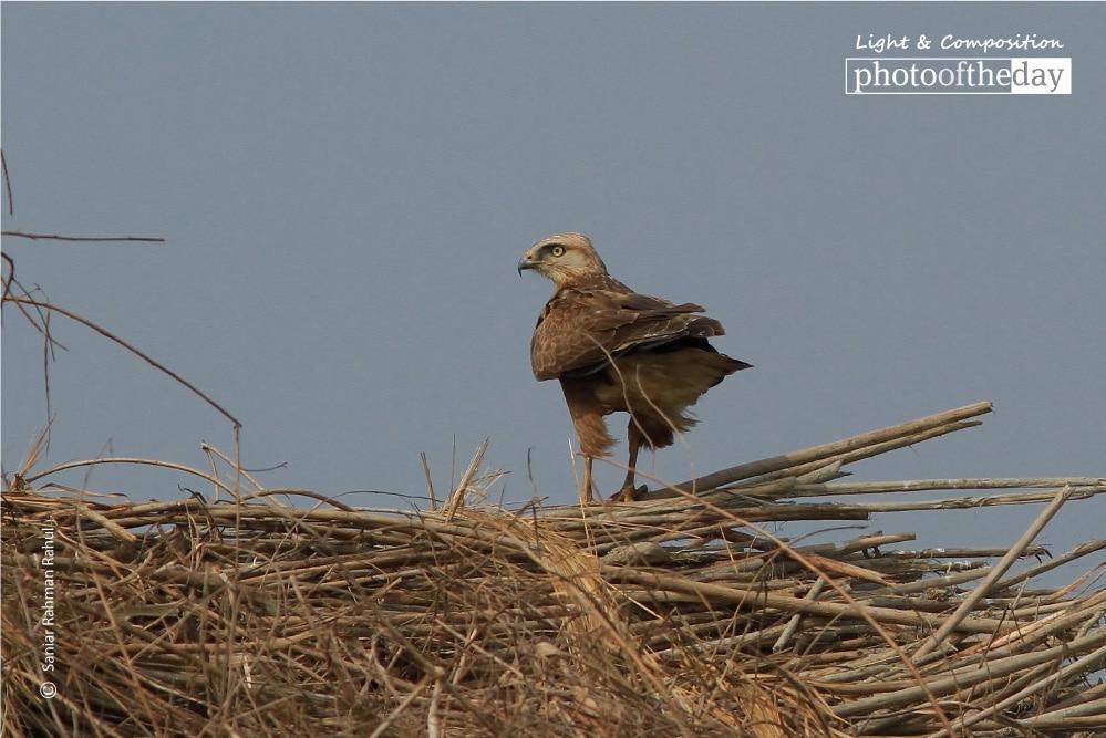 Long-legged Buzzard, by Saniar Rahman Rahul