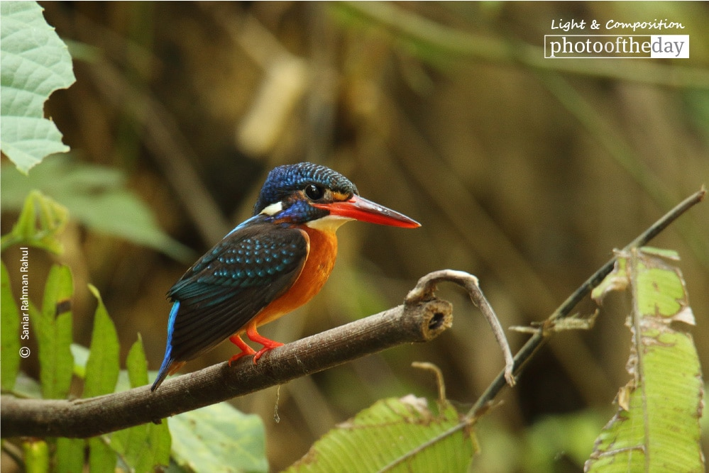 The Blue-eared Kingfisher, by Saniar Rahman Rahul