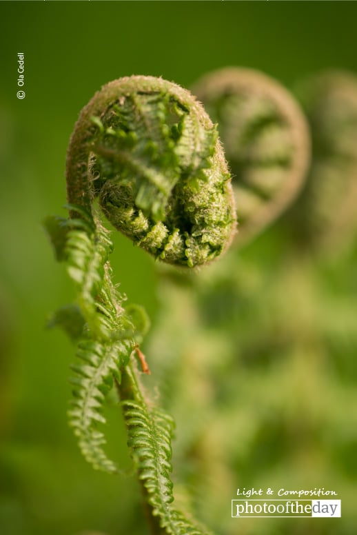 Fern in Spring, by Ola Cedell