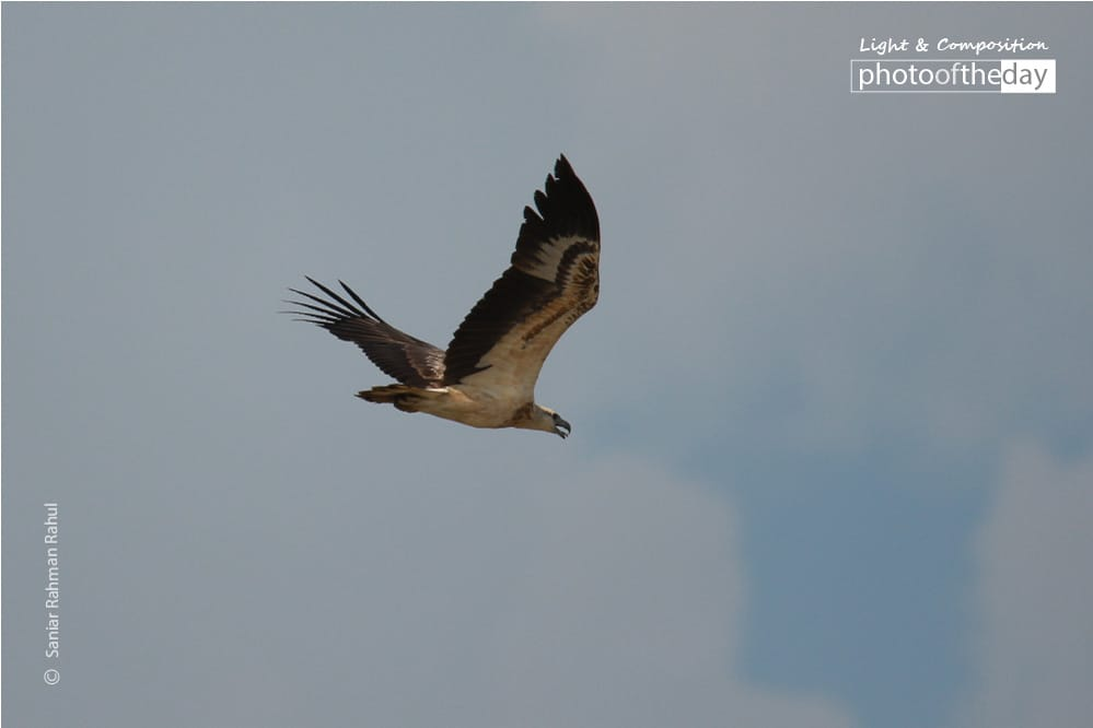 White-bellied Sea Eagle, by Saniar Rahman Rahul