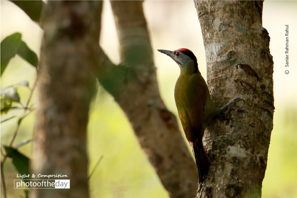 Grey Headed WoodPecker, by Saniar Rahman Rahul
