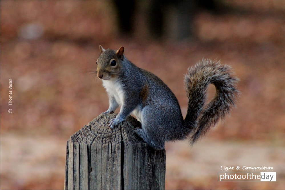 A Squirrel on the Post, by Thomas Vasas