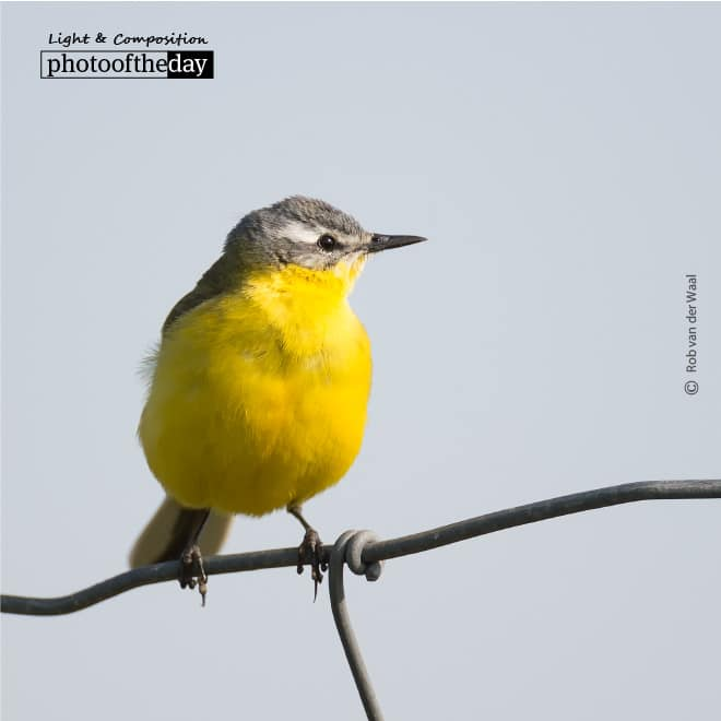 Blue Headed Wagtail, by Rob van der Waal
