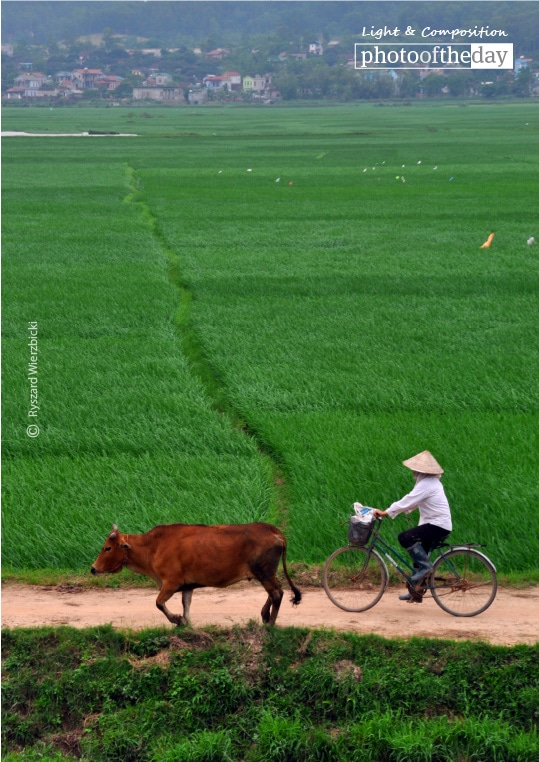 A Cyclist, a Cow, and the Green Field, by Ryszard Wierzbicki