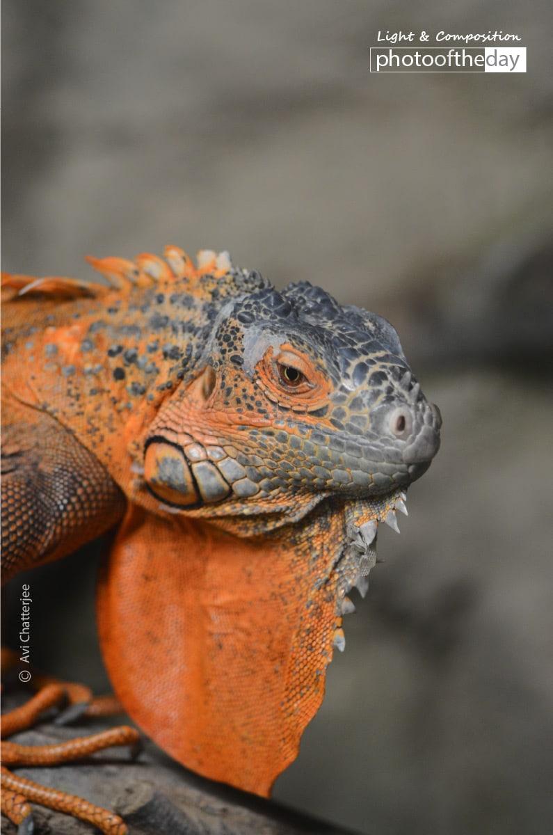 Iguana on Display, by Avi Chatterjee