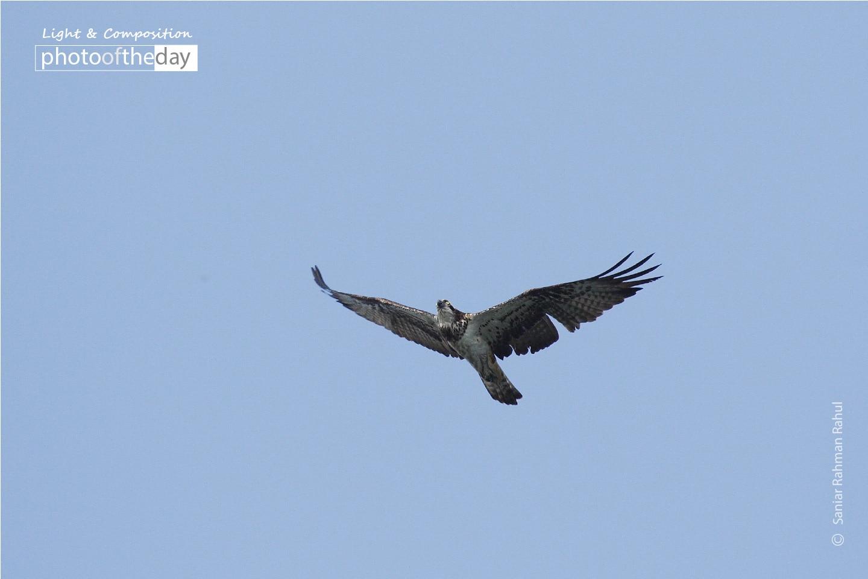 The Osprey, by Saniar Rahman Rahul