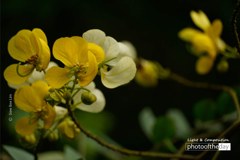 Flowers of a Kassod Tree, by Siew Bee Lim