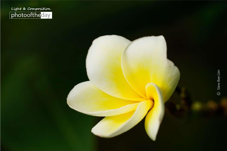 Frangipani, by Siew Bee Lim