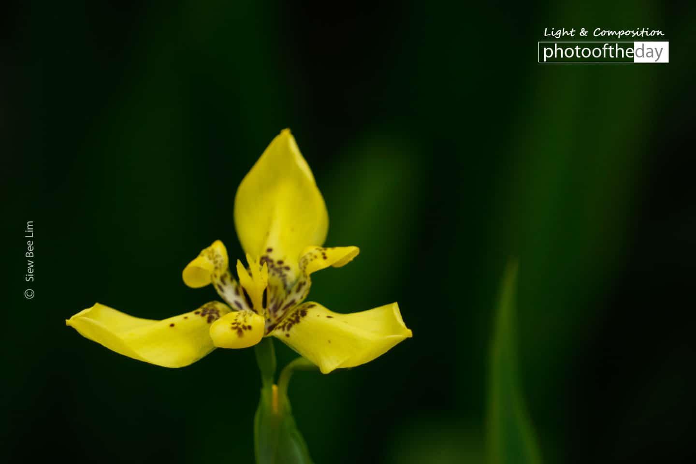 Yellow Walking Iris, by Siew Bee Lim