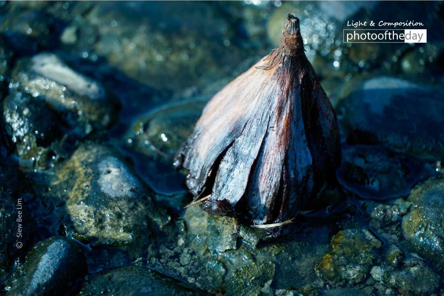 A Decaying Lotus by Siew Bee Lim