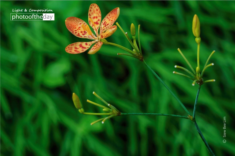 Leopard Flower by Siew Bee Lim