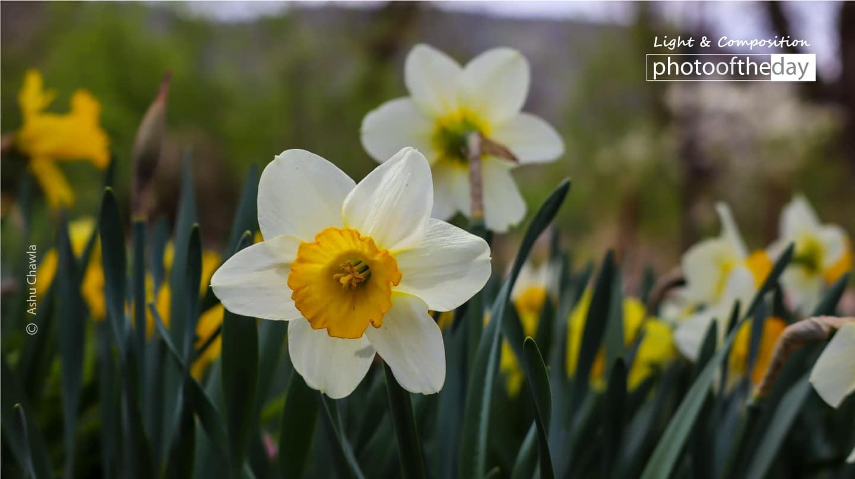 Daffodils - A Symbol of New Beginnings by Ashu Chawla