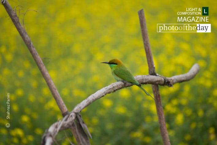 Cute Little Green Bee Eater