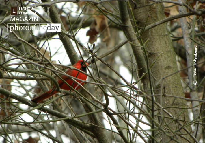 Male Cardinal, by Tisha Clinkenbeard