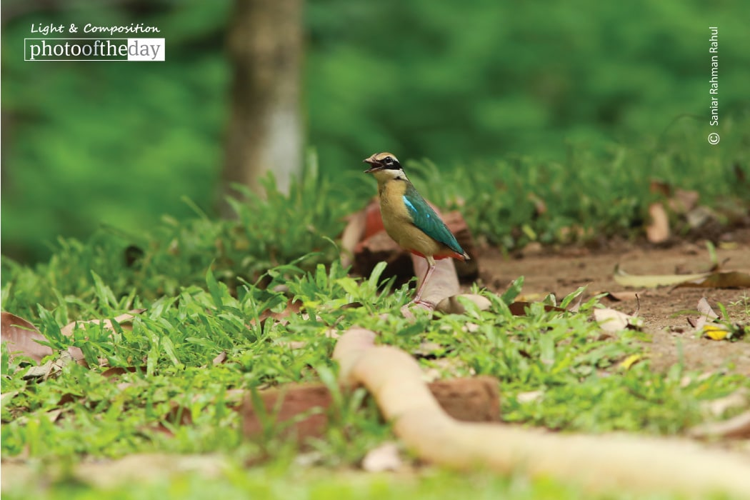 Indian Pitta, by Saniar Rahman Rahul