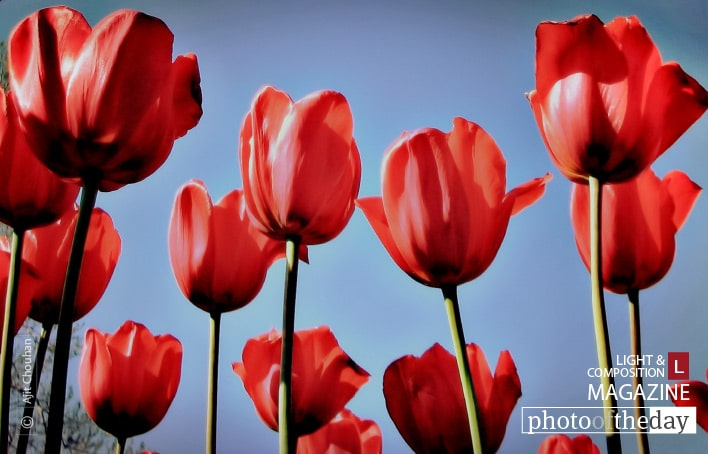 The Red Tulip, by Ajit Chouhan