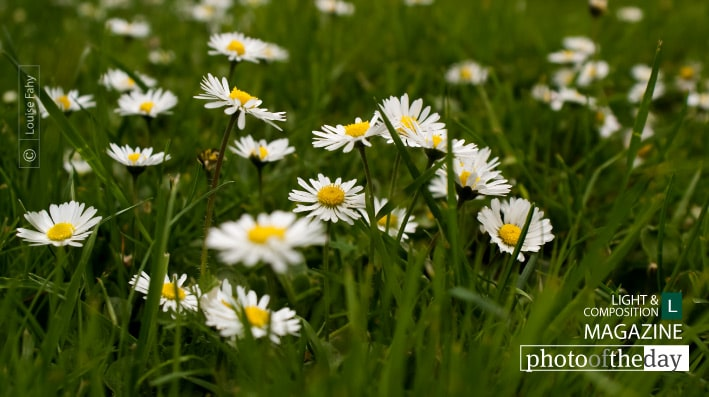 Springtime Daisies in Paris, by Louise Fahy