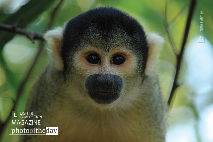 Capuchin Monkey, by Nilla Palmer