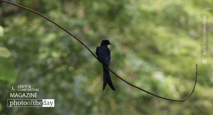 Identifying Black Drongo, by Rahat Azim Chowdhury