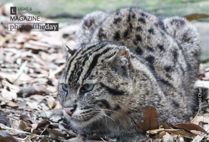 Fiddle the Fishing Cat, by Arnold Chan