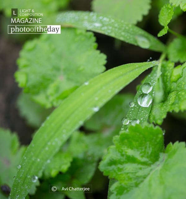 Drops on the Leaf, by Avi Chatterjee