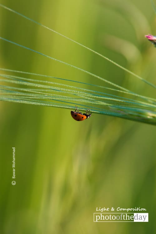 A Ladybug on the Grass, by Bawar Mohammad